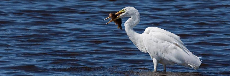 An egret catches a fish